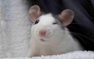 Почему декоративная крыса скрипит или стучит зубками