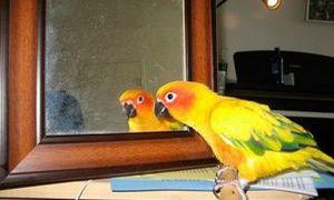 Зеркало для попугая: можно ли вешать и зачем