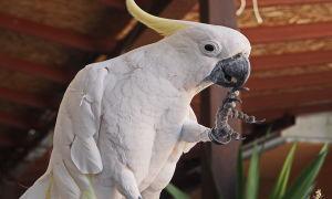Говорящий попугай: лучшие виды, породы для обучения и их цена