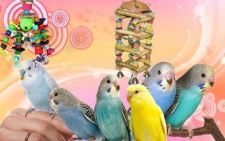 Что любят кушать волнистые попугаи и корелла