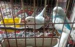 Как выпустить попугая из клетки в первый раз