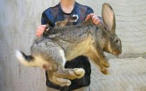 Сколько растут кролики от рождения до убоя