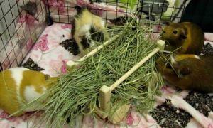 Какими травами можно и нельзя кормить домашних морских свинок