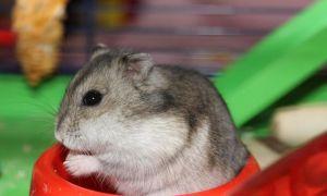 Питание джунгарских хомяков в домашних условиях: что можно и нельзя давать джунгарикам