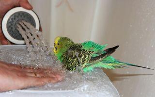 Как правильно купать попугая в домашних условиях: практические советы