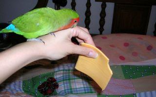 Можно ли попугаю сыр, почему и сколько