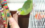 Почему попугай кусается и как его отучить