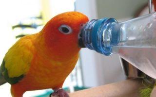 Какую можно воду давать попугаю и какую нельзя
