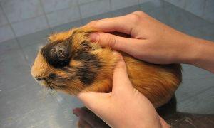 Какие болезни бывают у морских свинок и как их лечить в домашних условиях