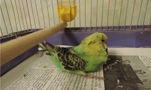 Попугай вялый и часто находится на дне клетки