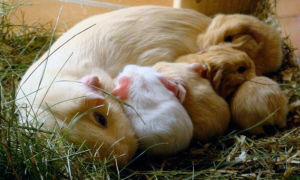 Правила спаривание и разведение морских свинок в домашних условиях