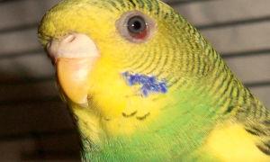 Заболевания глаз у попугаев