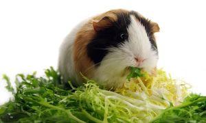 Можно ли давать морским свинкам укроп, петрушку, мяту и мелиссу