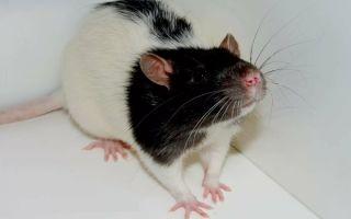 Домашняя крыса хаски: характер, питание, особенности и уход
