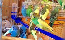 Где лучше купить попугая: зоомагазины, питомники, рынки, форумы