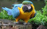 Сколько лет живет попугай ара и как продлить его жизнь