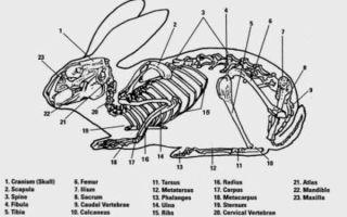 Скелет и тело кролика: особенности и строение