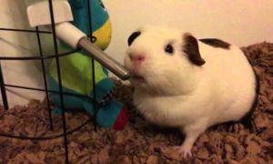 Почему морская свинка пьет много воды