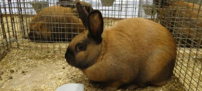 Тюрингенский кролик: характеристика, описание породы, правила ухода