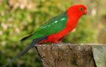 Королевский попугай: особенности вида, уход и содержание