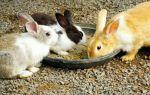 Когда и в каком возрасте можно отсаживать крольчат от мамы крольчихи