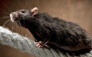 Черные крысы и все о них