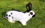 Описание кроликов породы Строкач или немецкий пестрый великан