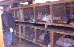 Как разводить кроликов на мясо