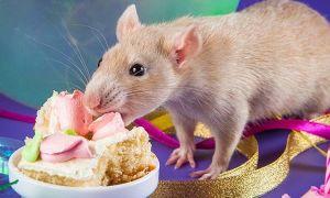Что едят домашние крысы: оптимальный рацион