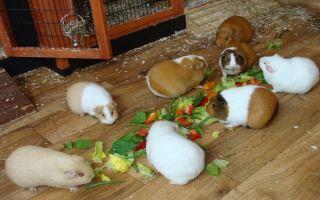 Что едят морские свинки в домашних условиях