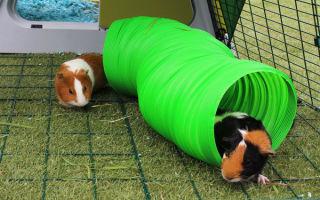 Игрушки и развлечения для морских свинок: покупаем или делаем своими руками