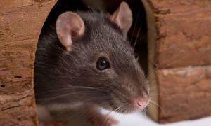 Имена для крыс