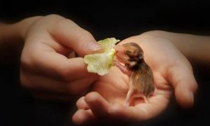 Как ухаживать за новорожденными хомяками и чем их кормить