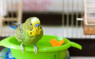 Можно ли давать попугаю хурму, сколько и почему