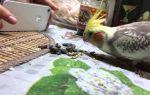 Можно ли попугаю семечки, в каком виде и сколько