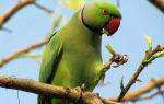 Актуальные цены на ожереловых попугаев