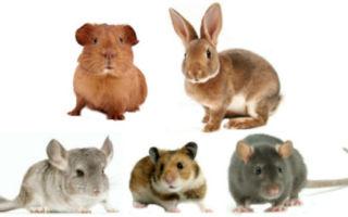 Кто лучше: хомяк, крыса, кролик, шиншилла или попугай
