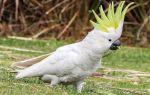 Сколько может стоить попугай какаду в питомниках и на рынках: актуальные цены