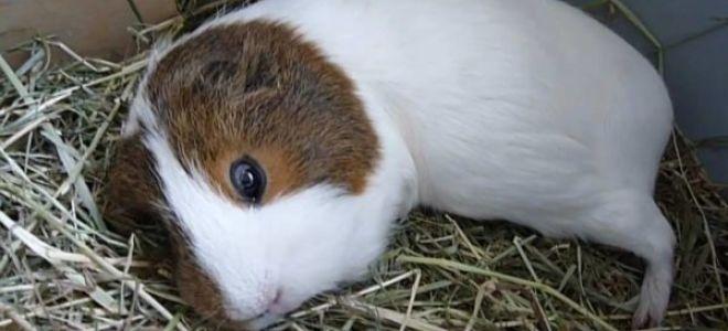 Как спят морские свинки и сколько времени в сутки