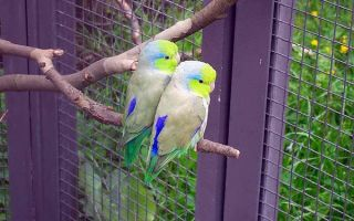 Воробьиные попугайчики: полная информация