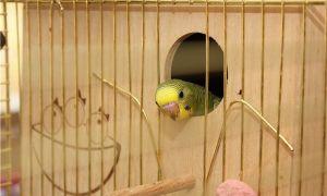 Гнездовой домик для волнистых попугаев: нужен ли и зачем, как выбрать и сделать своими руками