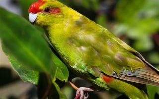 Попугай какарик или новозеландский прыгающий попугайчик