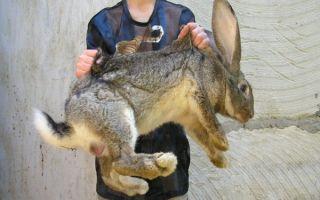 Сколько весят кролики разных пород