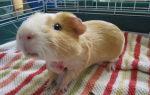 Лечение опухолей и абсцесов у морских свинок