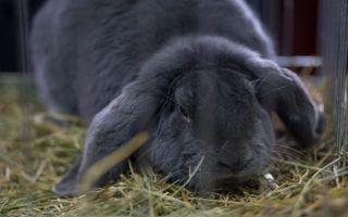 Кролики великаны: разведение, выращивание и кормление