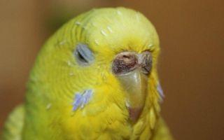Болезни восковицы у волнистого попугая