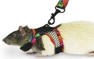 Зачем нужны шлейки и поводки для крыс, как выбрать и сделать самостоятельно