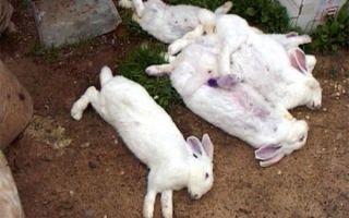 Почему умирают кролики без видимых причин: основные причины и способы их решения