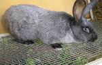 Кролики мясных пород: как выбрать кроликов которые быстро растут