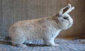 Особенности кролика породы Большое светлое серебро
